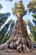 general sherman sequoia tree - stock photo