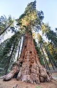 general grant sequoia tree, kings canyon national park - stock photo
