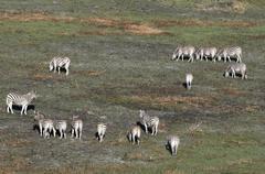 Aerial view of plains zebras (Equus quagga), Okavango Delta, Botswana, Africa Stock Photos