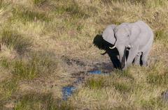 Aerial view of African elephant (Loxodonda africana), Okavango Delta, Botswana Stock Photos