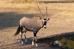 Gemsbok (Oryx gazella), Central Kalahari National Park, Botswana, Africa Stock Photos