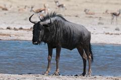 Blue wildebeest (Connochaetes taurinus), Nxai Pan National Park, Botswana Stock Photos