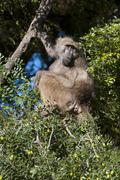 Chacma baboon (Papio ursinus), Mashatu Game Reserve, Botswana, Africa - stock photo