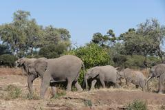 African elephant (Loxodonta africana), Mashatu Game Reserve, Botswana, Africa Stock Photos