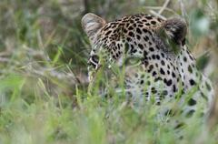 Leopard (Panthera pardus), Mala Mala Game Reserve, South Africa, Africa Stock Photos