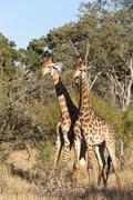 Southern giraffe (Giraffa camelopardalis), Mala Mala Game Reserve, South Africa Stock Photos