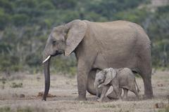 Addo Elephant National Park, South Africa - stock photo