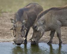 Addo Elephant National Park, South Africa Stock Photos