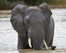 African Elephant (Loxodonta africana), Kruger National Park, South Africa Kuvituskuvat