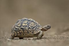Leopard Tortoise (Geochelone pardalis), Kruger National Park, South Africa Stock Photos