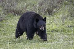 Black Bear (Ursus americanus), Yellowstone National Park, Wyoming, USA Stock Photos