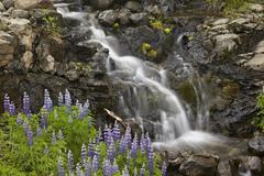 Cascade with lupines, Iceland, Polar Regions Stock Photos