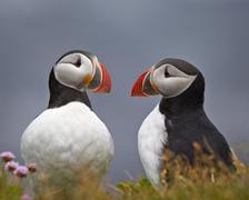 Atlantic Puffin (Fratercula arctica) pair, Iceland, Polar Regions - stock photo