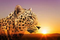 Cheetah, Masai Mara, Kenya, East Africa, Africa Piirros