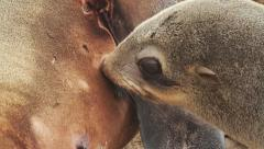 Baby fur seal Stock Footage