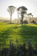 Backlit trees in green fields, the Catlins, South Island, New Zealand, Pacific Stock Photos