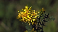 Ragwort - British Wildflower - stock footage
