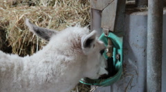 Alpaca is drinking Stock Footage