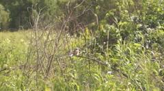 shrike on branch plays tail - stock footage