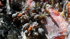 Ant, wood ant, red ant,  Aphid,  symbiosis, , Formica rufa, - stock footage