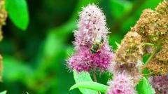 Honey bee on purple wildflower Stock Footage