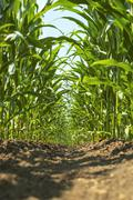 Stock Photo of inside a young corn field.