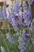Stock Photo of lavender blooms and a bee
