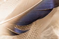 Duck feathers as a background. macro Stock Photos