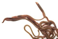 earthworms on a white background - stock photo