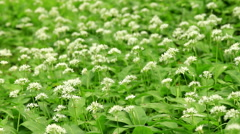 White flowers of Allium ursinum or wild garlic or Ramson Stock Footage
