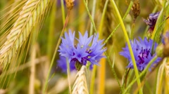 Cornflower  flower blooms and wheat ears in early morning sun light. Stock Footage