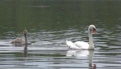 Swan and young signet swimming across water Stock Footage