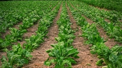 Field of red beet in rows Stock Footage