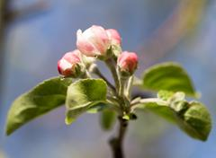 Beautiful flowers on a fruit-tree Stock Photos