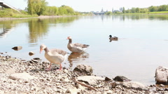 Two gooses coming ashore Stock Footage
