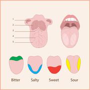 tongue anatomy - stock illustration
