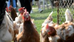 Hens are runnig to coop chicken - stock footage