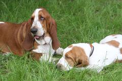 Two brown puppies Basset Hound Stock Photos
