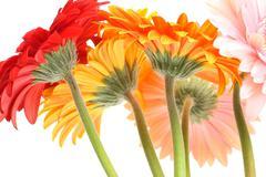 Bouquet gerbera daisies Stock Photos