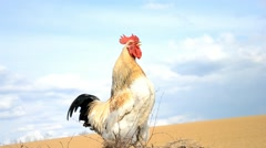 Rooster crows on manure (with sound) - stock footage