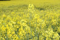 Rape (Brassica napus) - stock photo