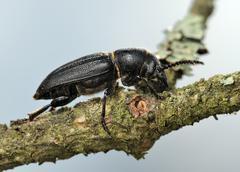 Longicorn beetle on a branch. - stock photo