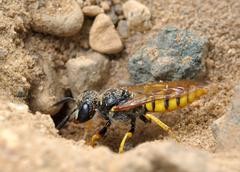 Small solitary wasp - stock photo