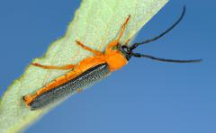 Longicorn beetle - stock photo