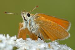 Butterfly Large Skipper (Ochlodes sylvanus). Stock Photos