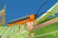 Longicorn beetle on green leaf - stock photo