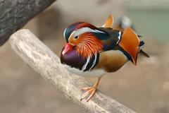 Mandarin duck (Aix galericulata) - stock photo