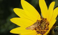macro moth sunflower - stock photo