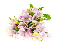 The branch of freesia with flowers, buds Stock Photos