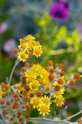 Small magaritas flowers Stock Photos